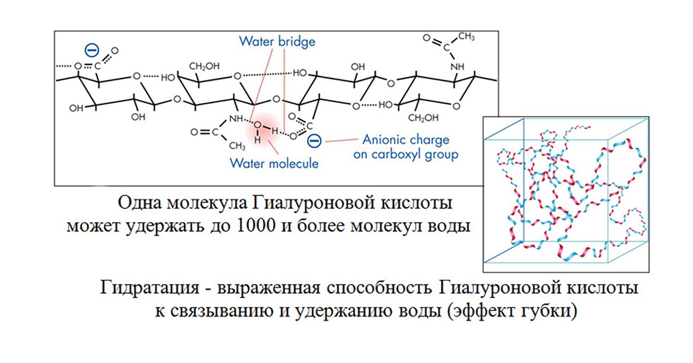 Одна молекула гиалуроновой кислоты может удержать до 1000 молекул воды